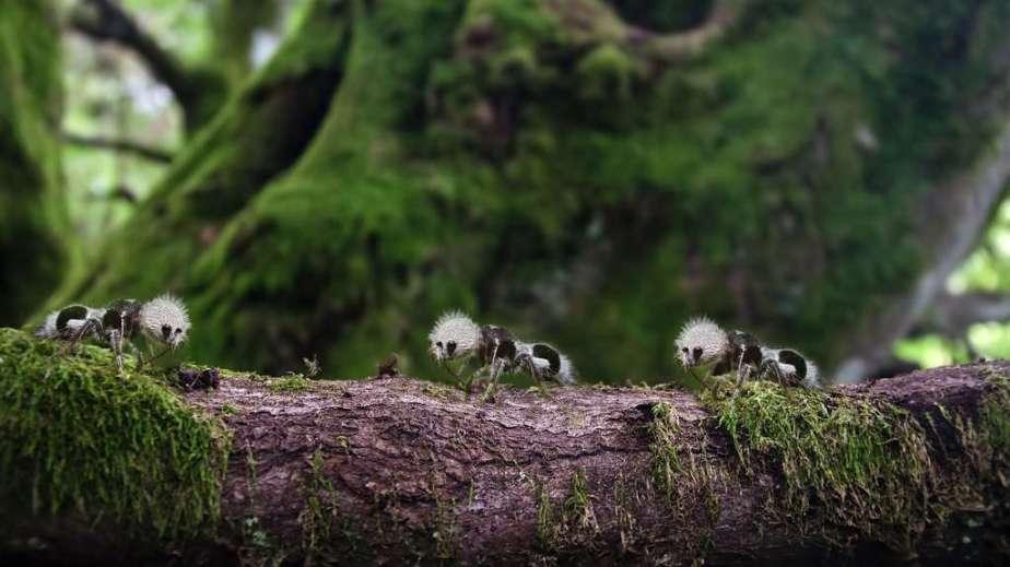 fourmi-panda