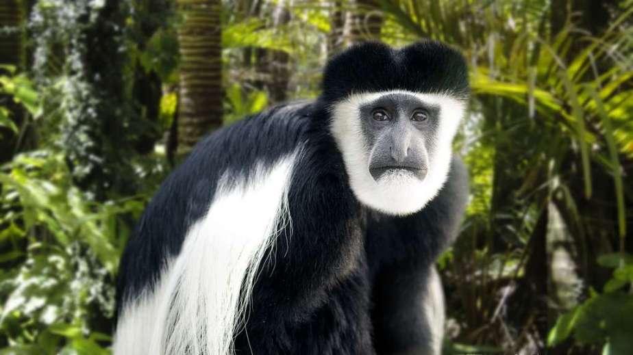 singe sans pouce