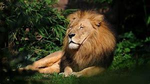 lion seul