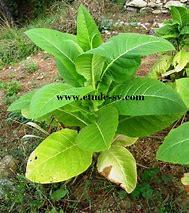 plant de tabac